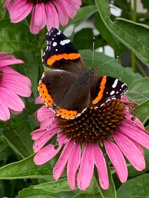 A red admiral butterfly on a pink coneflower.